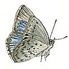 Dusky Blue Butterfly by thedrawingroom
