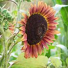 Big ol sunflower by vigor