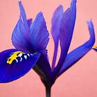 Blue Iris by Forfarlass