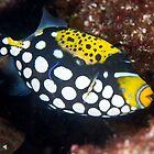 Clown triggerfish by David Wachenfeld