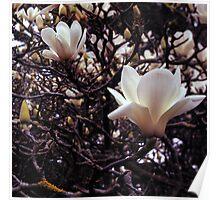 Magnolia denudata Poster