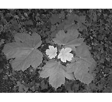 two tone leaf Photographic Print