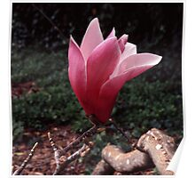 Magnolia sprengeri Poster