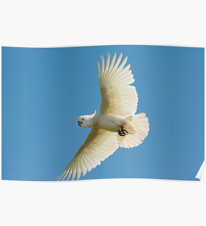 High Flyer - white cockatoo Poster