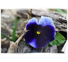Spring Pansy Poster