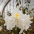 Rhododendron 'Fragrantissmum' by Glaspark