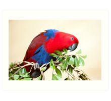 Eclectus Parrot Art Print