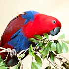 Eclectus Parrot by Jenny Dean