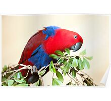 Eclectus Parrot Poster