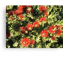 Bottle Brush Little John flowers Canvas Print