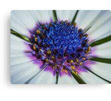 Macro shot of Daisy flower Canvas Print