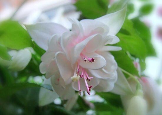 White Fuchsia by AnnDixon