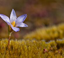 Wildflower - Crocus by César Torres