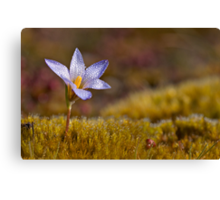 Wildflower - Crocus Canvas Print