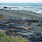 """Seal Sardines""  Elephant Seals at Piedras Blancas  by Gail Jones"