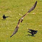 Red Kite in Flight by philipjon