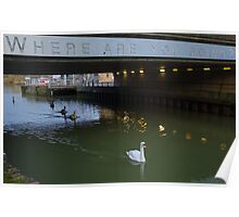 Clever Swans Poster