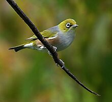 White Eye on a branch.......! by Roy  Massicks