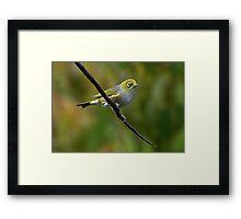 White Eye on a branch.......! Framed Print