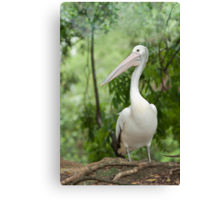 A wonderful bird is the Pelican.... Canvas Print