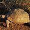 Land- of waterskilpaaie / Land or water tortoises in Afrika / in Africa.