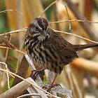 Colic sparrow by Alex Call