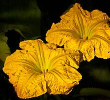 Winter Squash Flowers by cclaude