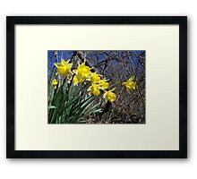 Signs of Spring - Daffodils Framed Print