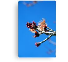 Signs of Spring - Maple Canvas Print