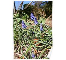 Signs of Spring - Grape Hyacinth Poster