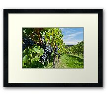 Grapes in the summer sun Framed Print