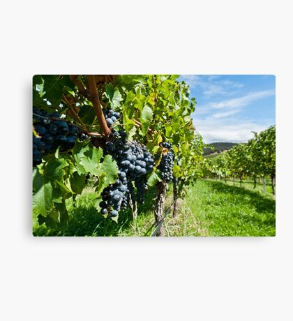 Grapes in the summer sun Canvas Print