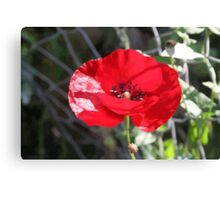 Vector Style Poppy With Natural Background  Canvas Print