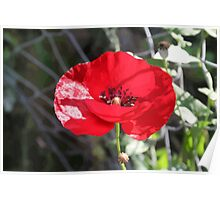 Vector Style Poppy With Natural Background  Poster