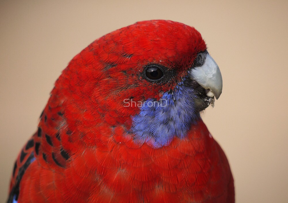 Crimson Rosella-Adult by SharonD