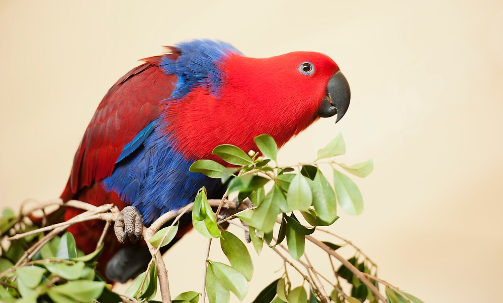 Hang On - Eclectus Parrot by Jenny Dean