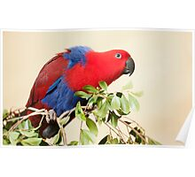 Hang On - Eclectus Parrot Poster