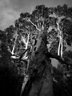 Scary Tree- Udy Road- Uraidla by Ben Loveday