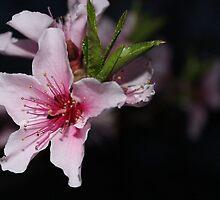 Azalea Blossom by aprilann