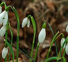Snowdrops by George Crawford