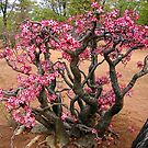 Impala Lily, Kruger National Park, South Africa by Ludwig Wagner