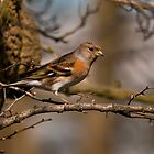 brambling by Grandalf
