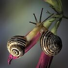 Snails in love by jimmy hoffman