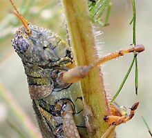 Dewey Grasshopper by ©Dawne M. Dunton