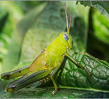 Grasshopper by Helenvandy