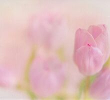 faintly tulips by Teresa Pople