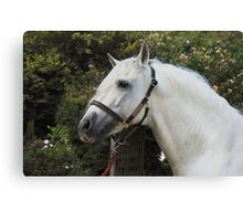 Andalusian Stallion II Canvas Print