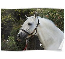 Andalusian Stallion II Poster