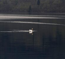 A white goose swimming in the morning in Loch Ness by ashishagarwal74