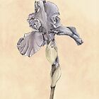 Iris Botanical Print by cathy savels